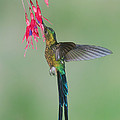 Violet-tailed Sylph Hummingbird Feeding by Steve Gettle