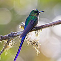 Violet-tailed Sylph by Jean-Luc Baron