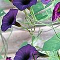 Violet Vine - Photopower 326 by Pamela Critchlow