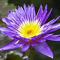 Violet Water Lily by Gene Norris