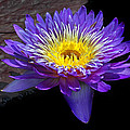 Violet Waterlily by Dave Mills