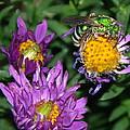 Virescent Metallic Green Bee by James Peterson