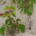 Virginia Creeper At The Beach by William Sargent