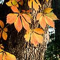 Virginia Creeper Autumn Color by Thomas R Fletcher