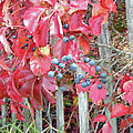 Virginia Creeper Fall Leaves And Berries by Mother Nature