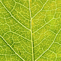 Virginia Creeper Leaf by Sinclair Stammers/science Photo Library