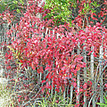 Virginia Creeper Vine On Dune Fence - Fall Colors by Mother Nature