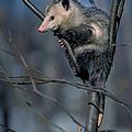 Virginia Opossum by David N. Davis