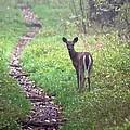 Virginia - Shenandoah National Park - White Tailed Deer by Pamela Critchlow