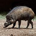 Visayan Warty Pig by Anthony Mercieca