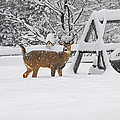 Visiting Winter Buck by Ed Hoppe