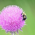 Visitor On Thistle by Maria Urso