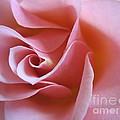 Vivacious Pink Rose 2 by Tara  Shalton