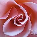 Vivacious Pink Rose 3 by Tara  Shalton