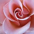 Vivacious Pink Rose 4 by Tara  Shalton