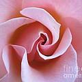 Vivacious Pink Rose 5 by Tara  Shalton