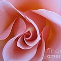 Vivacious Pink Rose by Tara  Shalton