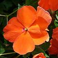 Vivid Orange Vermillion Impatiens Flower by Taiche Acrylic Art
