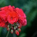 Vividly Red Geranium by Maria Urso