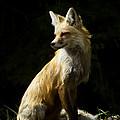 Vixen Fox   #4251 by J L Woody Wooden