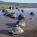 Volcan Alcedo Giant Tortoise Wallowing by Tui De Roy