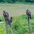 Vulture Fence Line 3 by Roxy Hurtubise