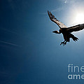 Vulture Flying In Front Of The Sun by Johan Swanepoel