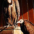 Vulture Male by Gina Dsgn