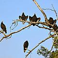 Vulture Tree Full Of Buzzards by Barbara Snyder
