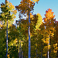Aspens In Vertical by David Lee Thompson