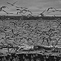 Wading Birds-black And White by Douglas Barnard