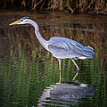 Wading Blue Heron by Puget  Exposure