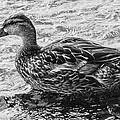Wading Female Mallard by Allan Morrison