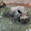 Wading Rhinos by Judy Whitton