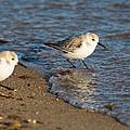 Wading Sanderlings by Allan Morrison