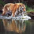 Wading Tiger by Glenn Aker