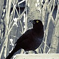 Waiting Grackle by Gothicrow Images