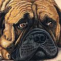 Waiting Bullmastiff Drawing by Michelle Wrighton