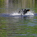 Walk On Water - The Anhinga by Christine Till