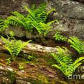 Ferns by Alana Ranney