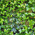 Wall Of Ivy by Tikvah's Hope