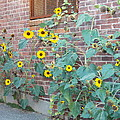 Wall Of Sunflowers 1 by Nina Kindred