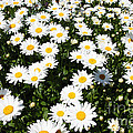 Wall To Wall Daisies by Deborah  Bowie