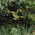Wallaces Flying Frog by Stephen Dalton