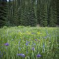 Wallowa Wildflowers by Belinda Greb