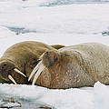 Walrus Male And Female On Ice Floe by Konrad Wothe