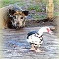 The Pig Want To Be Your Friend, Mr Duck  by Hilde Widerberg