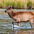 Wapiti Elk Alf Crossing The Madison River In Yellowstone National Park by Fred Stearns