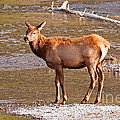 Wapiti Elk Calf Standing By The Madison River Inyellowstone National Park Yellowstone National Park by Fred Stearns