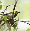Warbler - Black-throated Green  by Travis Truelove